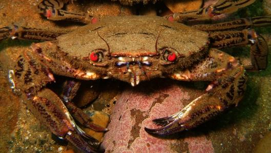 Velvet swimming crab (Browns Bay) - credit paula lightfoot